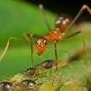 Yellow ant tending to aphids