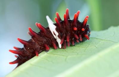 Common rose caterpillar (Pachliopta aristolochiae)