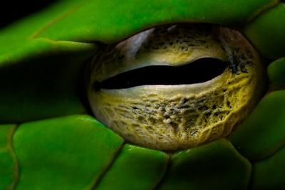 Oriental whip snake (Ahaetulla prasina) eye