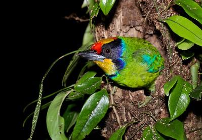 Golden-throated barbet (Megalaima franklinii auricularis) nesting in tree stump