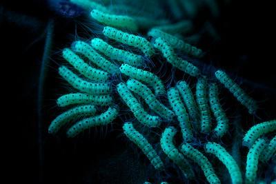 Caterpillars under UV light