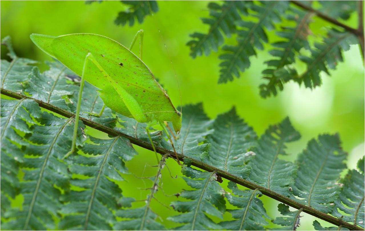 Green leaf-mimicking katydid (Orophus tesselatus) amongst ferns