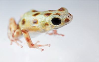 "Strawberry poison arrow frog (Oophaga pumilio) ""Bastimentos"" morph white colour form"