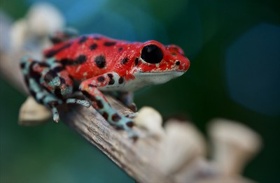 "Strawberry poison arrow frog (Oophaga pumilio) ""Bastimentos"" morph red colour form"