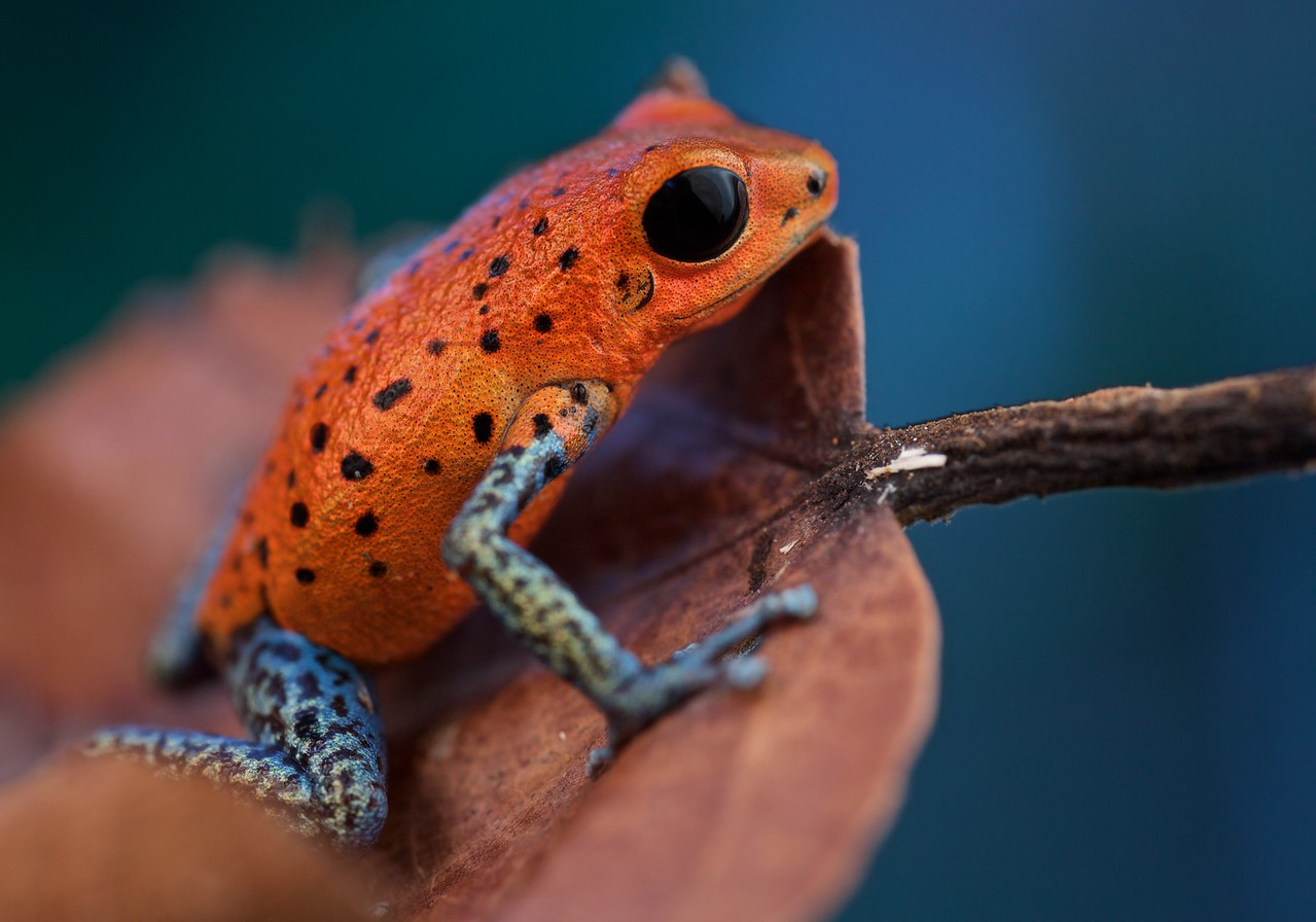 "Strawberry poison arrow frog (Oophaga pumilio) ""San Cristobal"" morph"