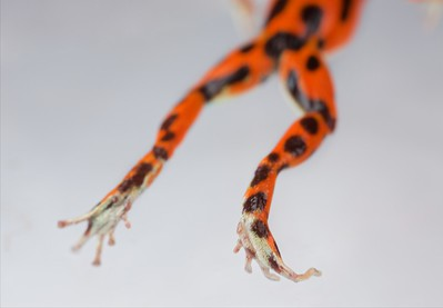 "Strawberry poison arrow frog (Oophaga pumilio) ""Bastimentos"" morph orange colour form"