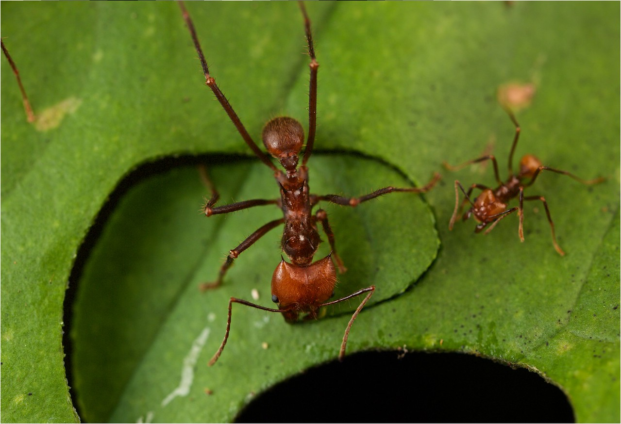 Leafcutter ants cutting leaves