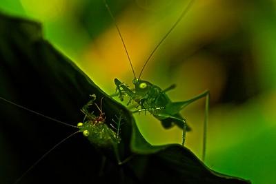 Predaceous katydids (Phlugis sp.)