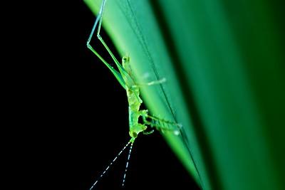 Predaceous katydid (Phlugis sp.)
