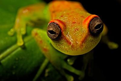 Polk-a-dot treefrog (Hypsiboas punctatus)