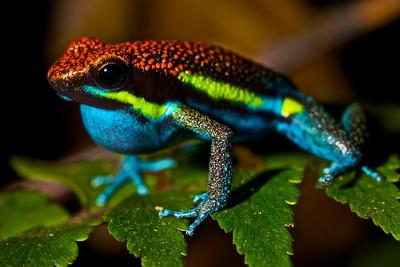 Manu poison arrow frog (Ameerega macero)