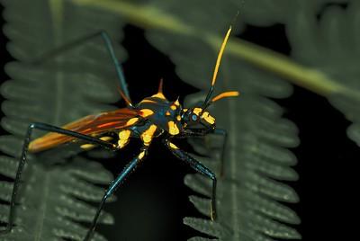 Wasp-mimicking assassin bug (Spiniger sp.)