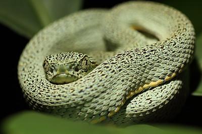 Amazonian palm pit viper (Bothriopsis bilineata)