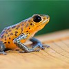 "Strawberry poison arrow frog (Oophaga pumilio) ""Chiriqui Grande"" morph orange colour form"