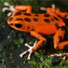 "Strawberry poison arrow frog (Oophaga pumilio) ""Bastimentos"" morph"