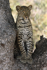annie nash  leopard in a tree