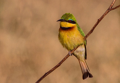 annie nash little bee eater