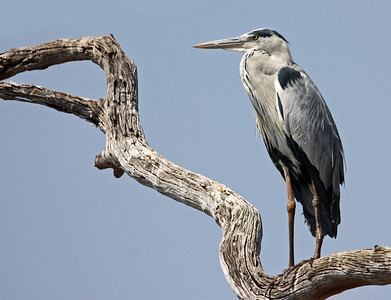 grey heron  by annie nash copy