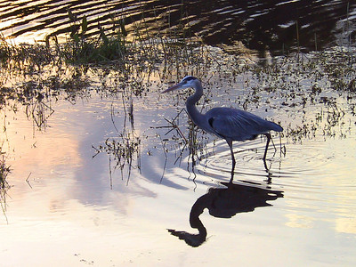 Great Blue Heron at Twilight
