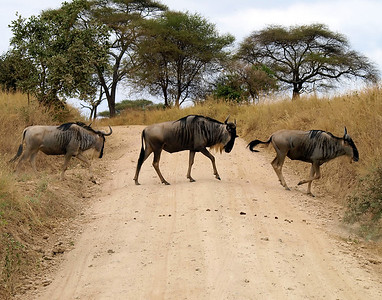 Why did the Wildebeest Cross the Road?