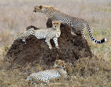 Cheetahs Looking for Lunch