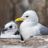 Herring Gull & Chick (4th)