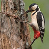 Great Spotted Woodpecker (1st)