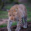 Male Leopard (4th)