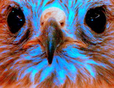 Psychedelic falcon