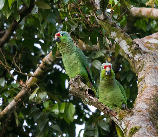 Red Lored Amazonian Parrot 3