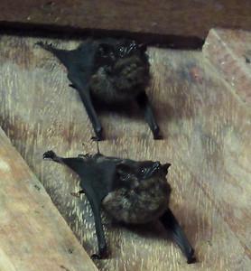 Bats in the bar