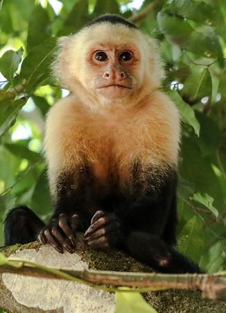white face Capuchin monkey 2