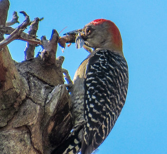 Hoffmans woodpecker