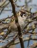 Tree Sparrow Singing