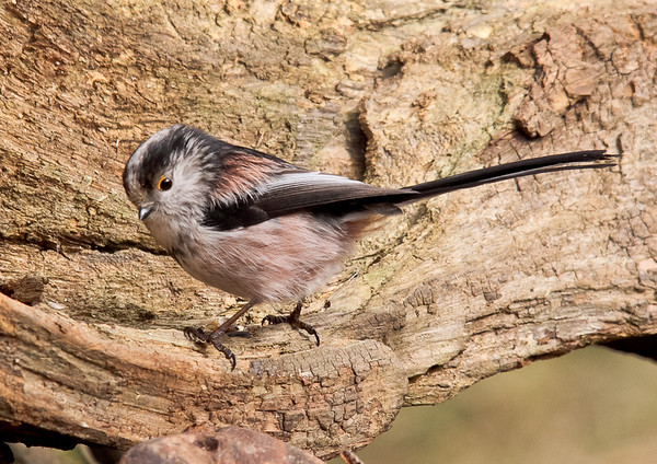 Clive Wade Long tailed tit
