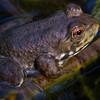 Frog<br /> by Dale Lindenberg<br /> Wildlife<br /> Score 13