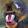 Mandrill<br /> by Dale Lindenberg<br /> Pictorial<br /> Score 14
