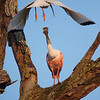 Roseate Spoonbill<br /> by Dale Lindenberg<br /> Nature<br /> Score 12