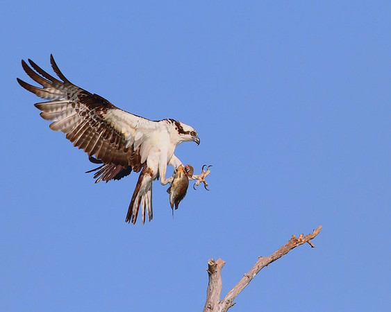 Osprey with Fish<br /> by Dale Lindenberg<br /> Nature<br /> 1st Place