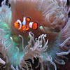 Clown Fish<br /> by Dale Lindenberg<br /> Pictorial<br /> Score 13