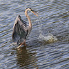 Heron Fishing<br /> by Dale Lindenberg<br /> Wildlife<br /> Score 12
