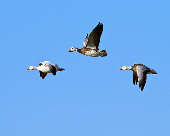 Canada Geese<br /> by Dale Lindenberg<br /> Wildlife<br /> Score 12