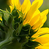 Sunflower-backside<br /> pictorial<br /> Dale Robertson<br /> score: 12