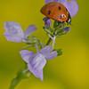 Ladybug<br /> macro<br /> Dale Robertson<br /> Score: 12
