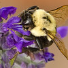 Bumblebee<br /> macro<br /> Dale Robertson<br /> score: 12