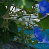 Key West Morning Glories by Danny Haddox