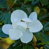 Cairo Magnolia
