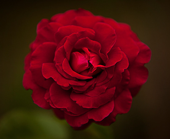 Red Rose by Danny Haddox