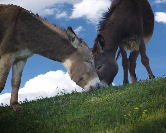 Donkey Love by Danny Haddox