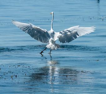 Great Egret Wings Spread